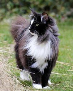 Beautiful Maine Coon                                                                                                                                                      More