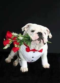 flowers for beautie #english #bulldog #englishbulldog #bulldogs #breed #dogs #pets #animals #dog #canine #pooch #bully #doggy #flowers
