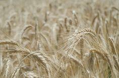 Understanding Ancient Grains: Spelt, Farro, Einkorn and Heirloom Wheat