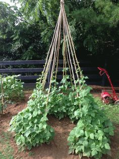 The green bean tee-pee does work! Saw it in my gardening book several years ago … Potager Garden, Garden Trellis, Garden Landscaping, Bean Trellis, Pole Beans Trellis, Growing Green Beans, Vegetable Garden Design, Gardening Books, Plantation
