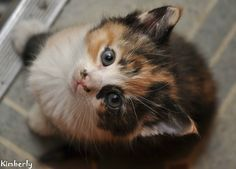 Calico kitten... You will be mine! <3