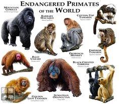 Fine art illustration of some of the endangered primates on the planet