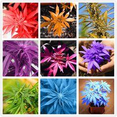 100 unids Japonés Rainbow Semillas Raras Semillas de Flores 2017 Nuevas Variedades de Cáñamo Bonsai Plantas de Cáñamo Semillas de Hortalizas Para El Jardín de Su Casa