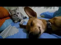Dog Accidentally Farts In His Sleep But It's Cat's Comeback That Has Internet Cracking Up Goodfullness is part of Dog farts - Funny Animal Videos, Funny Animal Pictures, Funny Animals, Cute Animals, Funny Babies, Funny Dogs, Funny Humor, Dog Farts, Cat Attack