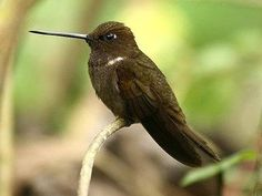 Many hummingbirds are known for their bright, unusual colors, but the brown inca (Coeligena wilsoni) proves that even plain brown plumage can be attractive. These stocky hummingbirds are found in Columbia and Ecuador, and their field markings include a white patch on the shoulder and an iridescent purple throat that is visible in the best light.