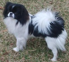 The Japanese Chin is a perky, playful pet that can turn dignified and stand-offish the minute a stranger enters his environment. With the right training and socialization, these toy breed dogs can be loving, devoted pets. Chinese Dog, Toy Dog Breeds, Cute Funny Dogs, Japanese Chin, Animal Facts, Dog Daycare, Pekingese, Love Pet, Little Dogs