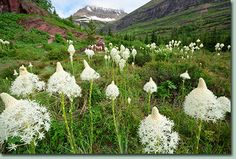 flowering bear grass! So that's what those things were on our hike!