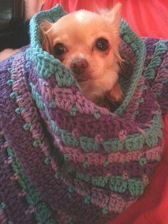 Cute Chihuahua, Chihuahua Puppies, Chihuahuas, Cute Puppies, Cute Dogs, American Eskimo Dog, Chiwawa, Cute Dog Pictures, Dog Things