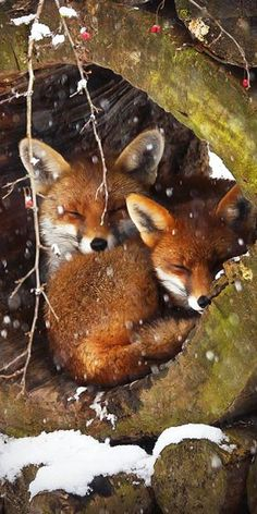 Have a great day :) -Everythingfox: Have a great day :) - Red Fox by nhlagbril on You know that fox is admiring & embracing that gentle touch of snow. Dormice, Cute: More *~ Red Fox cubs ~* Photo by: Jim Zuckerman Time To Take . Nature Animals, Animals And Pets, Baby Animals, Cute Animals, Animals In Winter, Animals In Snow, Funny Animals, Wild Animals Photos, Strange Animals