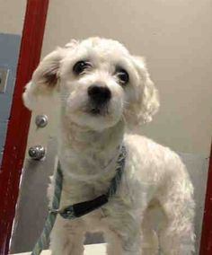 ~ Animal ID #A4830978   ‒ I am a Female, White Miniature Poodle mix. The shelter thinks I am about 3 years old. I have been at the shelter since May 16, 2015. L.A. County Animal Care Control: Lancaster  Telephone ‒ (661) 940-4191 5210 West Avenue I Lancaster, CA https://www.facebook.com/OPCA.Shelter.Network.Alliance/photos/pb.481296865284684.-2207520000.1432210029./822763874471313/?type=3&theater