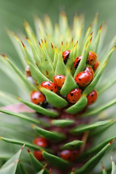 Lady bird beetles in succulent #fauna                              …