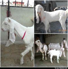 Akenini.com - Chèvres Gulabi - Gulabi goat - Animaux Etranges Bizarres - Weird Oddities Animal