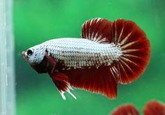 Halfmoon Plakat Auctions - Sun May 3 2020 Red Dragon, Betta Fish, Auction, Pets, Animals, Pisces, Animales, Animaux, Animal