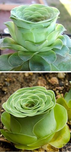 Greenovia Dodrentalis - Gorgeous + unusual succulent!!