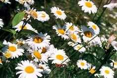 oxeye daisy - Google Search