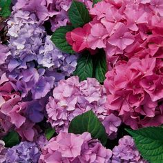 Back Yard - Hydrangeas are a favorite among gardeners worldwide. Their color can be changed by altering the soil conditions. It's no wonder they're so beloved!  <3 #bhg.com