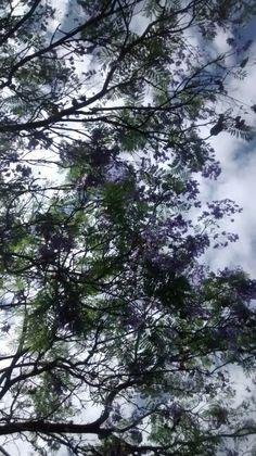 Árbol de jacarandas