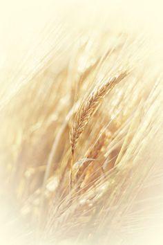 Glowing golden wheat fields in summer… Fields Of Gold, Field Of Dreams, Wheat Fields, Just In Case, Wild Flowers, Grass, Nature Photography, Beautiful, Instagram