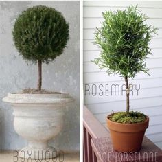 Easy DIY Living Rosemary and Boxwood Topiary on a Budget. ** See more by clicking the image link