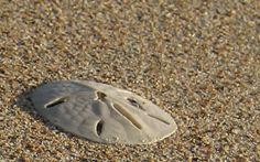 Sand Dollar in Roatan, Honduras Roatan, Honduras, Beach, Life, The Beach, Beaches