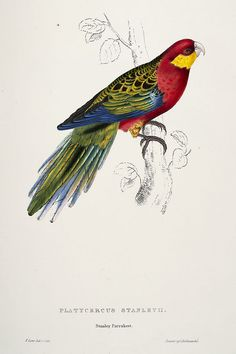 Platycercus icterotis -Platycercus stanleyii Stanley Parrakeet -by Edward Lear - high resolution image from old book. Vintage Birds, Vintage Prints, Vintage Art, Vintage Posters, Parrot Painting, Edward Lear, Bird Book, Bird Illustration, Colorful Birds