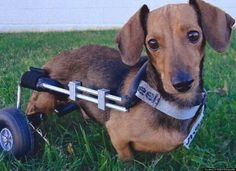 Oak Hill Animal Rescue received word that a Dachshund was dragging himself along the highway unable to use his back legs...and now look...angel wings to this group!!!!!