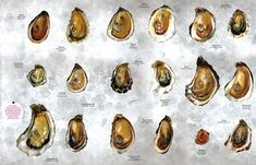 There are only 5 kinds of oysters. | The Only 7 Things You Need To Know AboutOysters