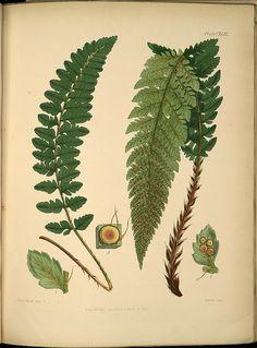 Aspidium mohrioides -- 'The botany of the Antarctic Voyage' by Joseph Dalton Hooker [1847]