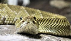 crotalus basiliscus, mexican west coast rattlesnake, rattlesnakes, rattle snake, snakes, venomous, venom, viper, pit viper, vipers, poison, poisonous, head, face, pits, diamondback, green