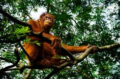 Picture of an orangutan sitting on a branch and looking up
