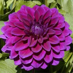 "TABOO (BBFD) Introduced in 2003. A sport from the very popular variety VOODOO, the 5"" blooms are a nice purple in color. An excellent cutflower that holds well and has nice stems and foliage. Bush height is 4 1/2'. Recommended as a cut flower."