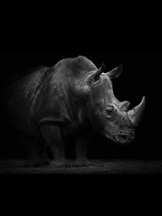 All About Animals, Animals And Pets, Cute Animals, Majestic Animals, Animals Beautiful, Wildlife Photography, Animal Photography, Rhino Tattoo, Rhino Art