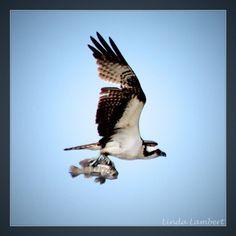 """It's okay...I don't want to go for a ride!""this poor little fish seems to say :( #osprey #birdsofinstagram #birds #fishing #fish #Matanzainlet #staugustine #staugustinebuzz #florida by hawktotem"