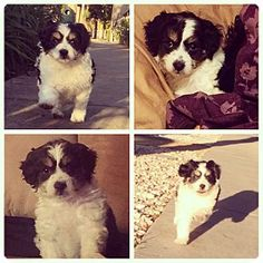 3/9/15 west hollywood, CA - Cavalier King Charles Spaniel/Poodle (Toy or Tea Cup) Mix. Meet Chip, a puppy for adoption. http://www.adoptapet.com/pet/12545866-west-hollywood-california-cavalier-king-charles-spaniel-mix