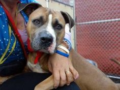 MERLIN is an adoptable Pit Bull Terrier Dog in New York, NY.  ...