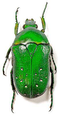 Dymusia variabilis (Moser, 1915) Cameroun