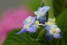 あじさい (紫陽花) /Hydrangea macrophylla  by nobuflickr, via Flickr