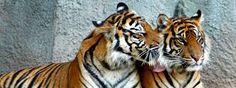 Znalezione obrazy dla zapytania wielkie koty