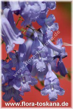 FLORA TOSKANA: Jacaranda mimosifolia - Palisanderbaum FLORA TOSKANA - Die Pflanzenwelt des Südens