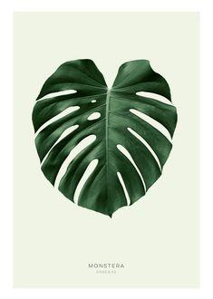 Botaniska tavlor och affischer | Poster med grönt monstera blad