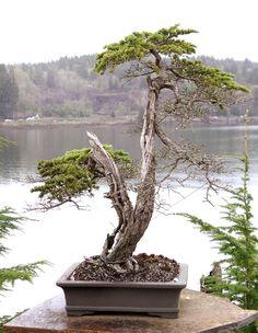 bonsai tree picture gallery - Google Search