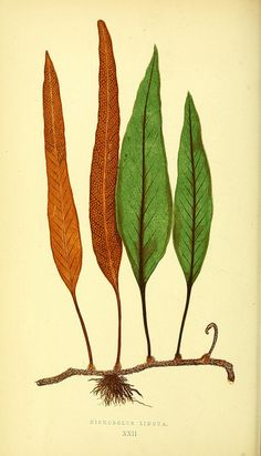 Ferns: British and exoticby BioDivLibrary on Flickr.  Ferns: British and exotic….London,Groombridge and Sons,1856-60..biodiversitylibrary.org/page/34988422