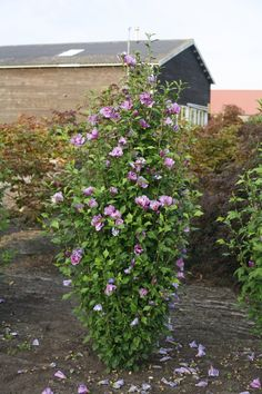 Proven Winners - Purple Pillar® - Rose of Sharon - Hibiscus syriacus purple plant details, information and resources. May Garden, Love Garden, Porch Plants, Landscaping Plants, Landscaping Ideas, Rose Of Sharon Tree, Shrubs For Privacy, Hydrangea Tree, Plants