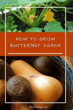 One of my favorite flavors is butternut squash. Warm, sweet, and full of fiber, potassium and carotene, butternut squash is a fall flavor you can't afford to miss.