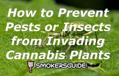 Many people love growing marijuana. However, just as many hardly prepare for pest infestation of their marijuana plant. Yet, a pest is something every marijuana grower has to deal with and can range from various bugs to rodents or other small wildlife. Marijuana Plants, Cannabis Plant, Cannabis News, Childproofing, Rodents, Mild Soap, Bugs, Insects, Wildlife