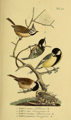 n190_w1150 by BioDivLibrary on Flickr. 1 Great Tit, Parus major 2 Southern Grey Tit, Parus afer 3 The Crested Tit, Parus cristatus now called Lophophanes cristatus 4 The Marsh Tit, Parus palustris now called Poecile palustris