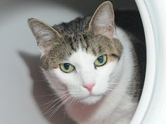 """ATHENA aka ENCHI LADA - A1068597 - - Manhattan  Please Share:    *** TO BE DESTROYED 04/11/16 *** CAT GODDESS OF WISDOM NEEDS NEW HOME!! …A staff member writes, """"Just like her mythological counterpart, this Athena is wise and cunning; a beauty who stands apart from the rest. With her uncanny ability to win your heart with her kind eyes–and snatch a few extra treats while she is at it–this lovely lady is waiting for her Zeus to come in and win her over. With a my"""
