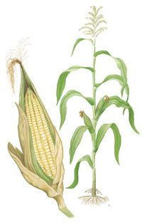 Maize is like corn. It was traded by America to Europe. It was intended to be grown and fed to people.