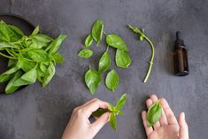 As one of the easiest herbs to grow indoors, many gardeners find themselves with an abundance of pungent fresh basil leaves. Here are 20 ways to use the vibrant herb.