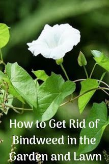 How to Get Rid of Bindweed in the Garden and Lawn. This is one tough weed, but w… How to Get Rid of Bindweed in the Garden and Lawn. This is one tough weed,. Evergreen Bush, Evergreen Shrubs, Weed Plants, Garden Plants, Garden Weeds, Morning Glory Plant, Morning Glories, Weeding Tips, Weed Killer Homemade
